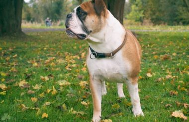 Wurfplanung, Welpen, Continental Bulldog Welpe, Züchter Frankfurt am Main