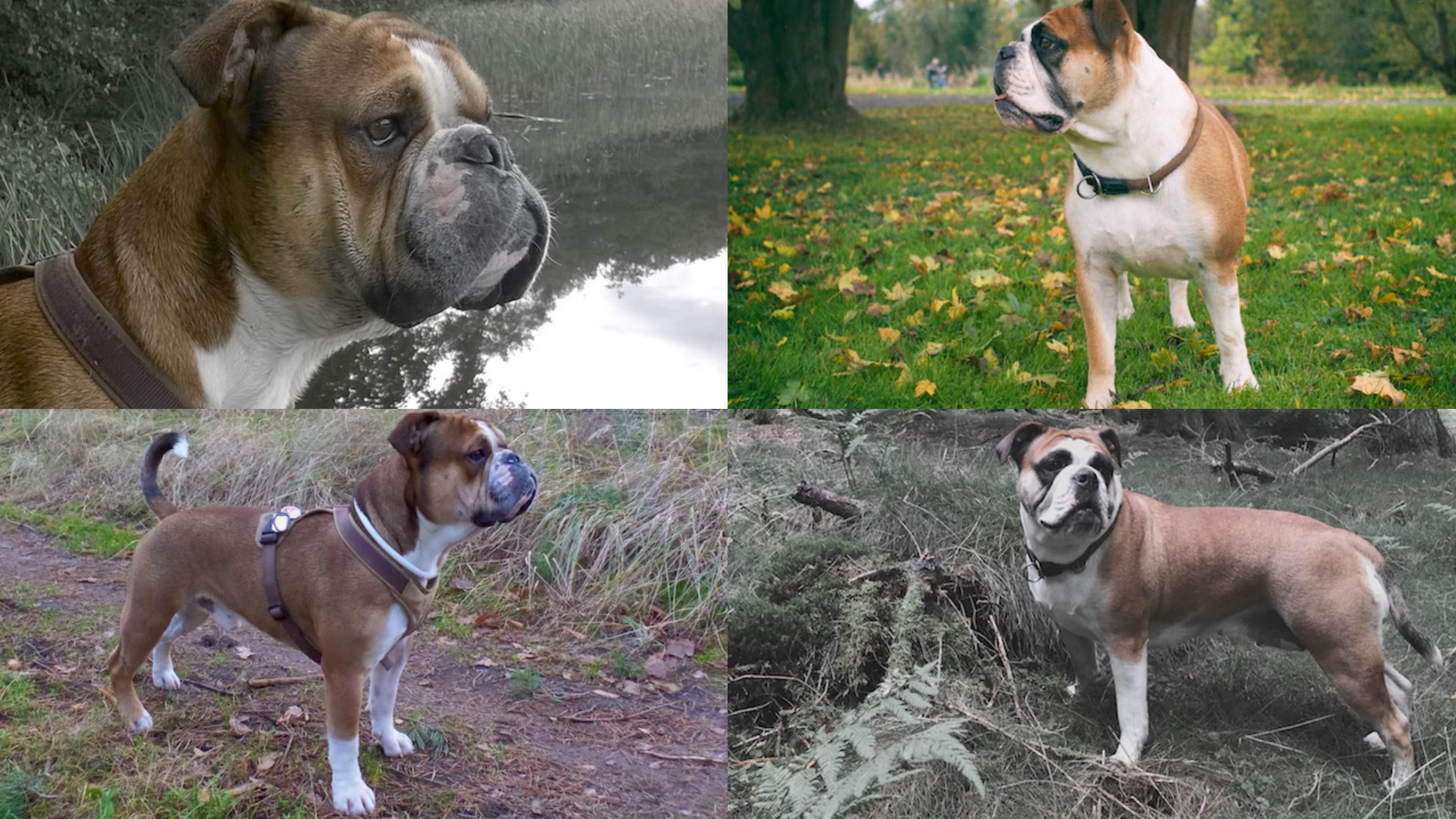 verpaarung, welpen continental bulldog, Wurfplanung