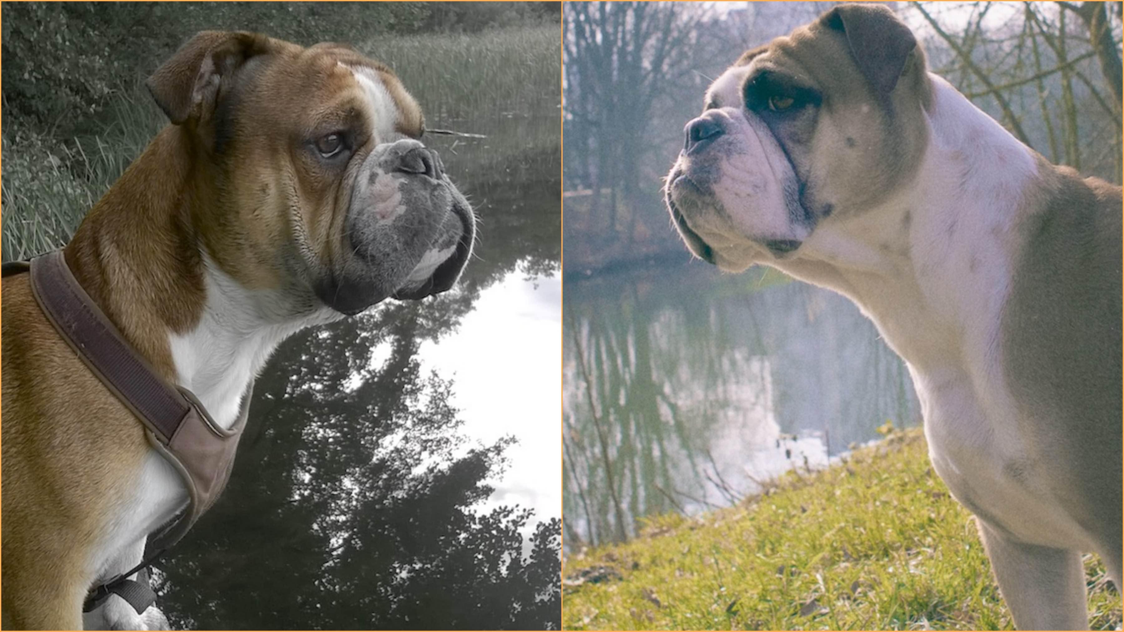 continental bulldog welpen, continental bulldog wurf, continental bulldog züchter frankfurt am main